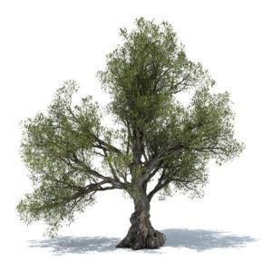 BIG Olivetree