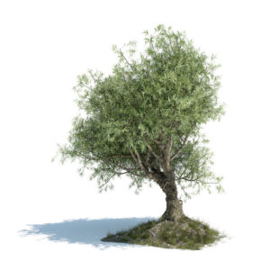 SMALL Olivetree